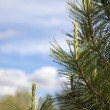 Stock Photo: Branch of pine tree against the cloudy sky