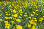 Glade of dandelions — Stock Photo