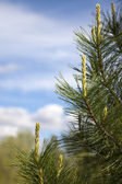 Branch of pine tree against the cloudy sky — Stok fotoğraf