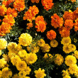 Tagetes — Stock Photo