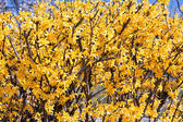 Forsythia flowers — Stock Photo