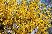 Flores forsythia — Foto de Stock
