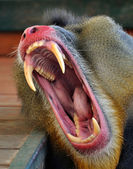 Mouth of monkey - baboon — Stock Photo