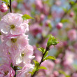 Stock Photo: Pink flowers on tree.
