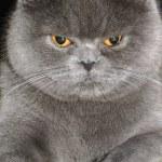British cat. — Stock Photo