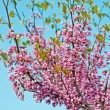 Cercis siliquastrum — Stock Photo