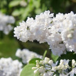 Stock Photo: A bush of white lilac with delicate flowers