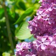 Lilac bush with delicate flowers — Stock Photo #10264454