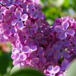 Lilac bush with delicate flowers — Stock Photo #10264477