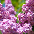 Lilac bush with delicate flowers — Stock Photo #10264491