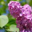 Lilac bush with delicate flowers — Stock Photo #10264507