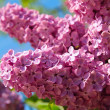 Lilac bush with delicate flowers — Stock Photo #10264522