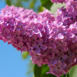 Stock Photo: Lilac bush with delicate flowers
