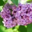 Lilac bush with delicate flowers — Stock Photo #10264556