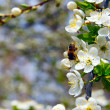 Stock Photo: Blooming apple trees