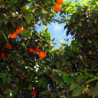 Grapefruit tree in the sky — Stock Photo