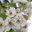 Blooming pear tree — Stock Photo