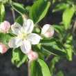 Blooming apple tree branch — Stock Photo #10545912