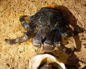 Coconut Crab — Stock Photo