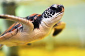 Baby Sea Turtle — Stock Photo