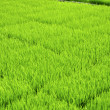 Rice Field — Stock Photo #9309014