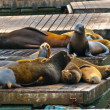 Stock Photo: California Sea Lions