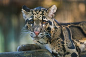 Clouded Leopard — Stock Photo