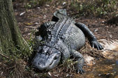 Florida Alligator — Stock Photo