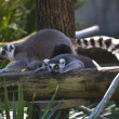 Lemurs - Stock Photo