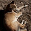 New Guinea Singing dog — Stock Photo #8485444