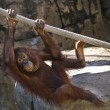 Orangutan — Stock Photo #8485451