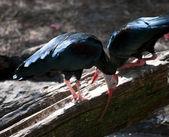 Bald Ibis — Stock Photo