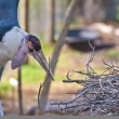 Stock Photo: Marabou Stork