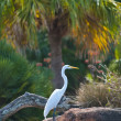 Great White Egret — Foto de stock #8557563