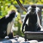 Colobus Monkey — Stock Photo #8557597