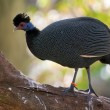 Crested Guineafowl — Stock Photo