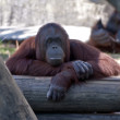 Orangutan — Stock Photo #8557642