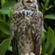 Great Horned Owl — Stock Photo #8557663