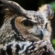 Great Horned Owl - Photo