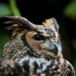 Great Horned Owl — Stock Photo #8557667