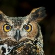 Great Horned Owl — Stock Photo #8557706