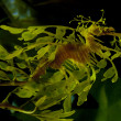 Leafy Dragon Seahorse - Stock Photo