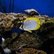 Stock Photo: Spot fin butterfly fish