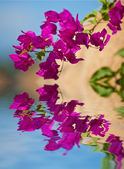 Bougainvillea — Foto de Stock