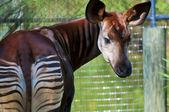 Okapi — Stock Photo