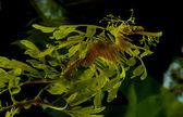 Leafy Dragon Seahorse — Stock Photo