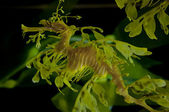 Leafy Dragon Seahorse — Stock Photo