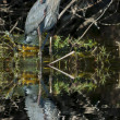 Great Blue Heron — 图库照片