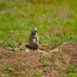 Stock Photo: Prairie Dog At His Burrow