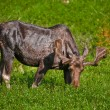 Moose — Stock Photo #8950613